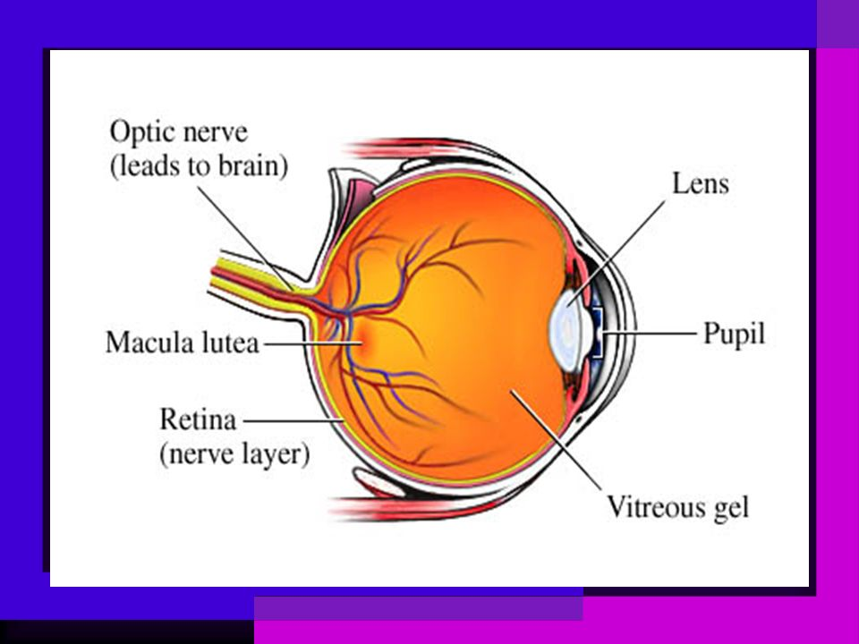 LENS The lens is surrounded by a thick lens capsule which is the basement membrane of the lens epithelial cells.