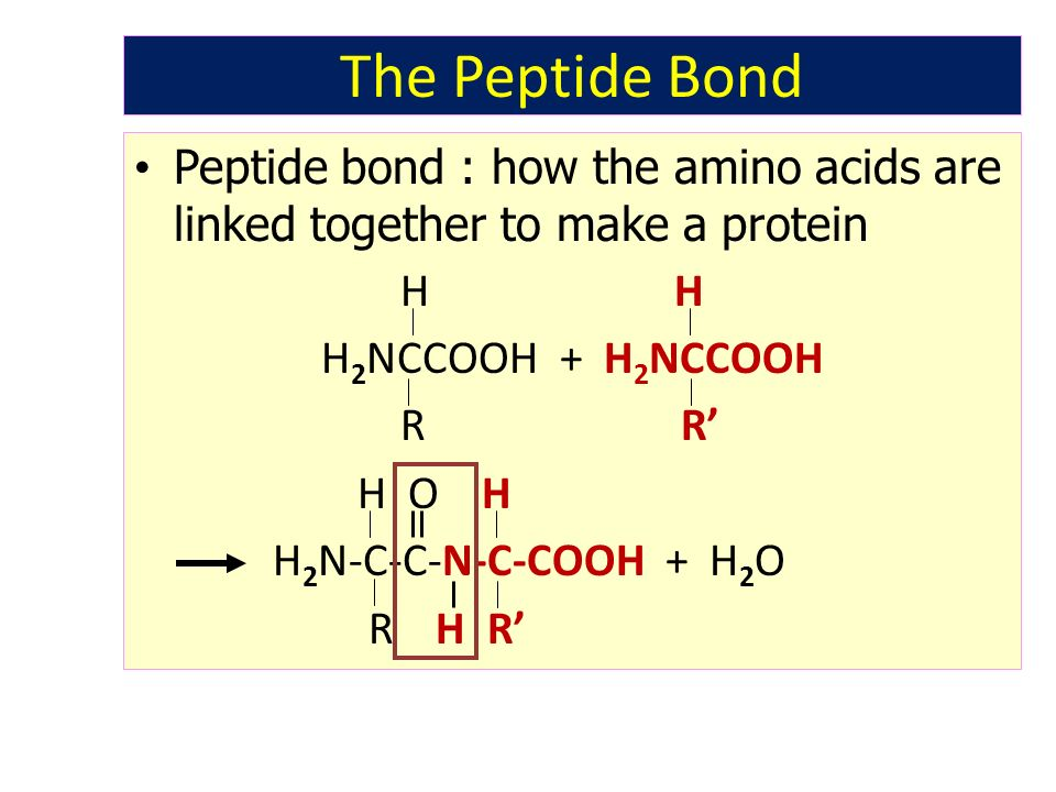 The Peptide Bond Peptide bond : how the amino acids are linked together to make a protein H H H 2 NCCOOH + H 2 NCCOOH R R' H O H H 2 N-C-C-N-C-COOH +