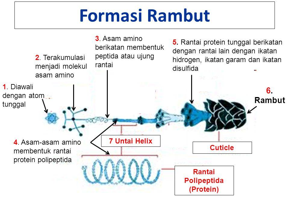 Formasi Rambut 1. Diawali dengan atom tunggal 2. Terakumulasi menjadi molekul asam amino 3.