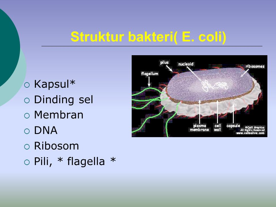 Basic Cell Organization  Membrane  Nucleus  Cytoplasm  Organelles