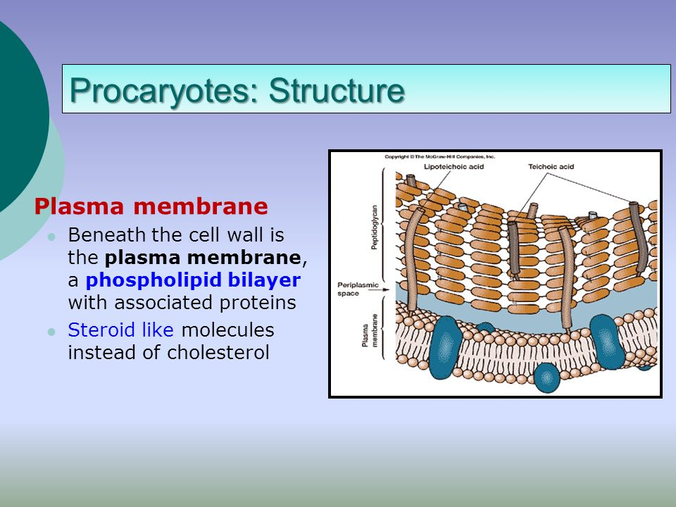 Plasma Membrane: Overview STRUCTURE  Flexible barrier  Made of PhosphoLipids-double layer  Contains Proteins FUNCTION  Protect inside of cell  Contacts other cells  Identifies cell  Regulates entry and exit