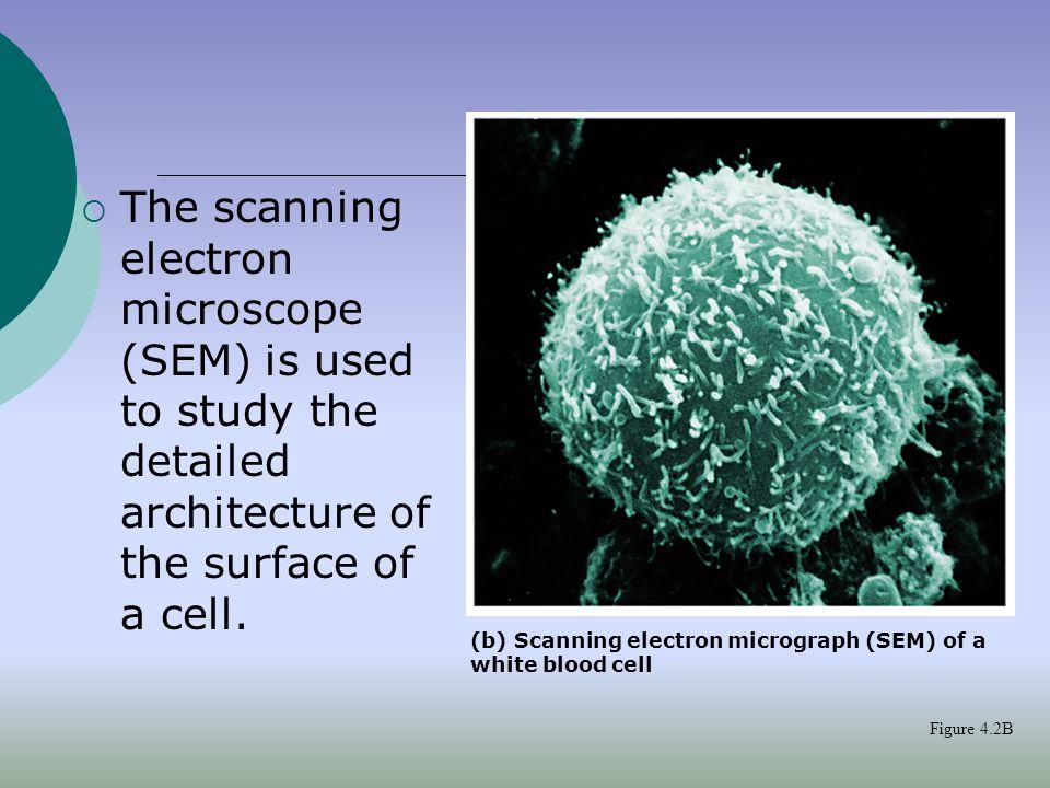 Struktur bakteri( E. coli)  Kapsul*  Dinding sel  Membran  DNA  Ribosom  Pili, * flagella *