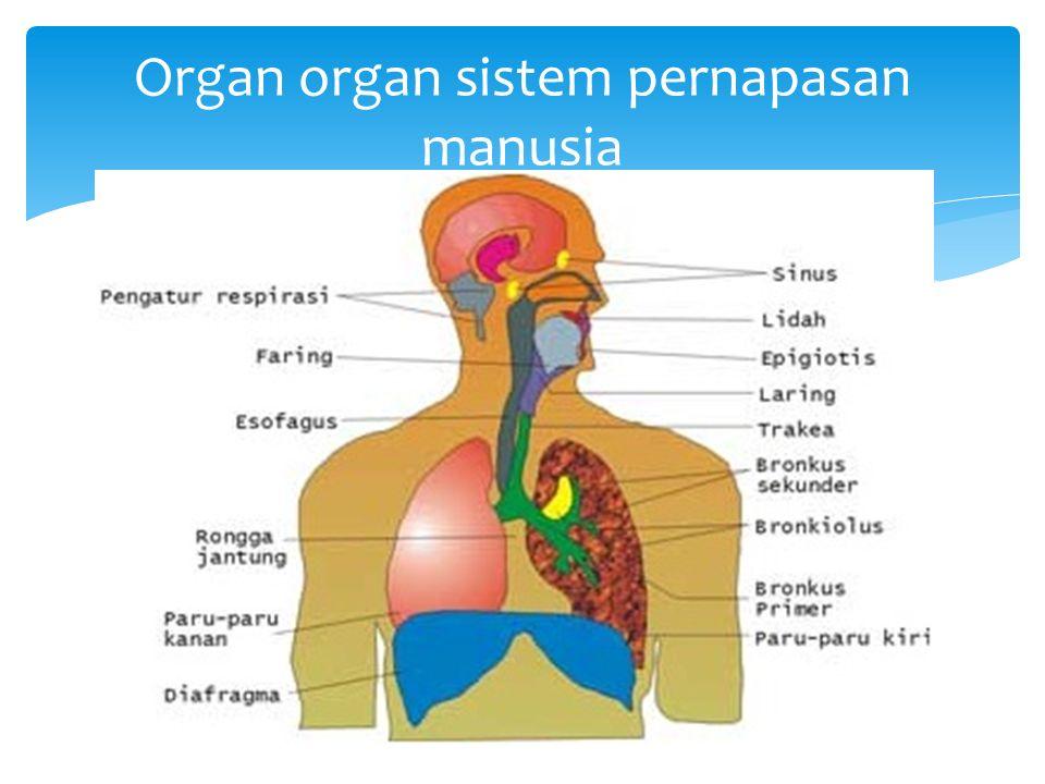 Organ organ sistem pernapasan manusia