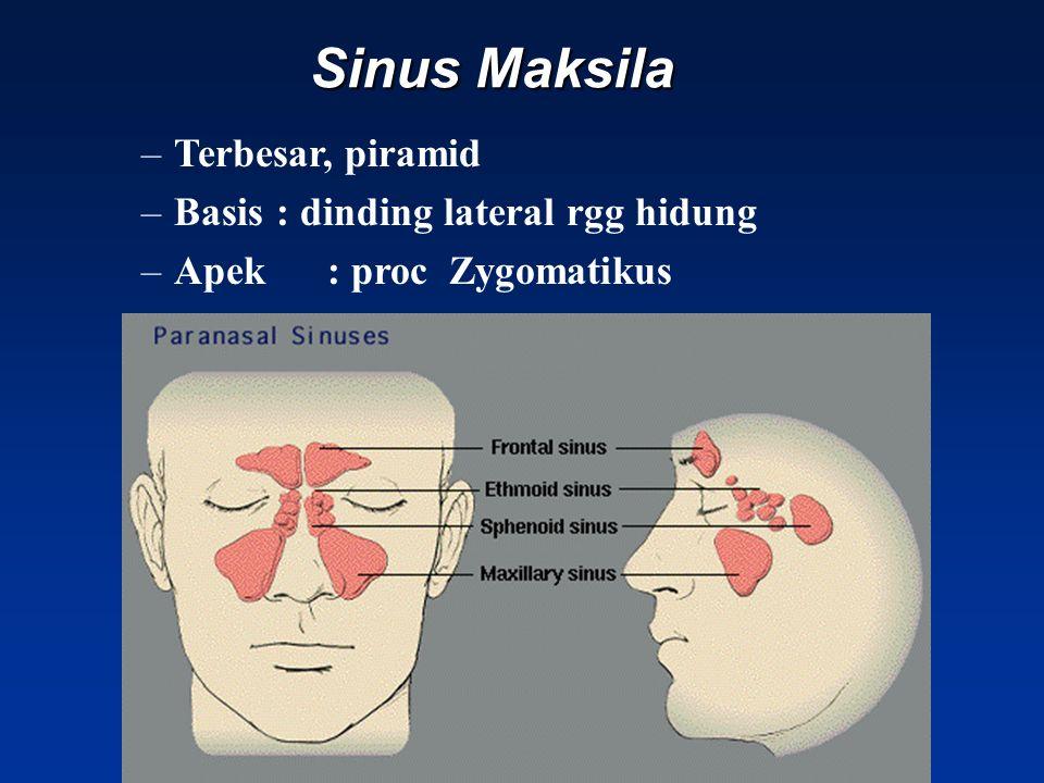 Sinus Maksila –Terbesar, piramid –Basis: dinding lateral rgg hidung –Apek : proc Zygomatikus