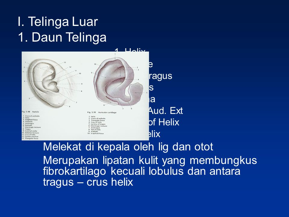 I. Telinga Luar 1. Daun Telinga 1. Helix 2. Lobule 3.