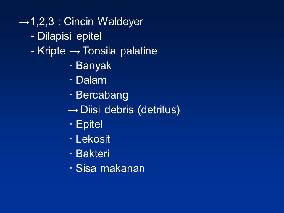 → 1,2,3 : Cincin Waldeyer - Dilapisi epitel - Kripte → Tonsila palatine ∙ Banyak ∙ Dalam ∙ Bercabang → Diisi debris (detritus) ∙ Epitel ∙ Lekosit ∙ Ba