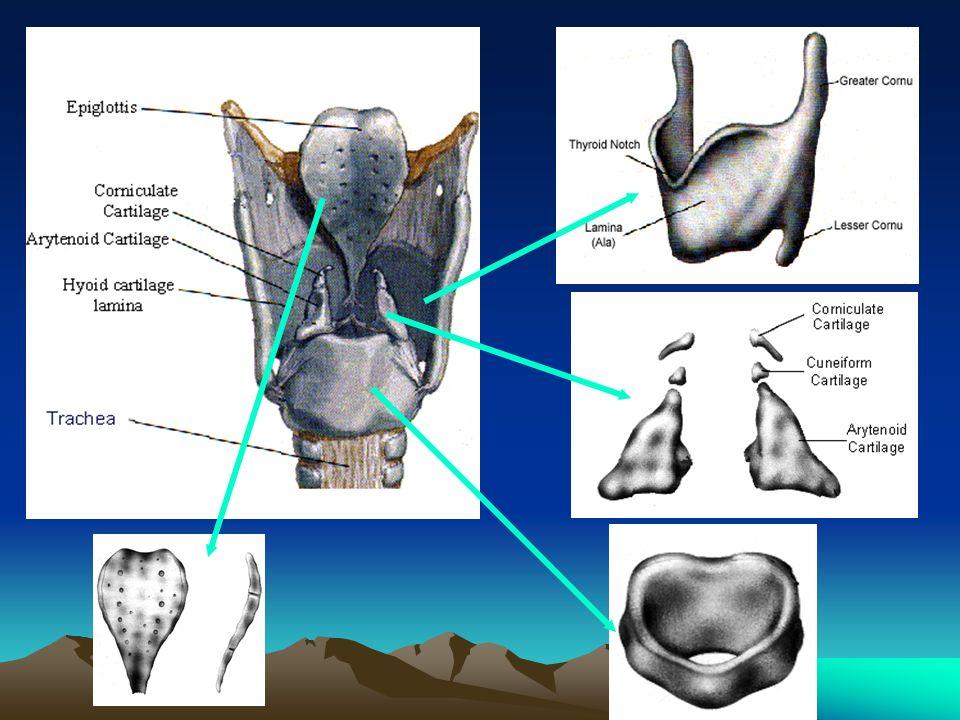 Ketiganya merupakan kartilago hyalin, orang dewasa mengalami klasifikasi kecuali sebagian aritenoid, disebut pokok karena memberi bentuk laring & berfungsi proteksi Tambahan terdiri dari : 1.Kartilago epiglotis, tunggal, besar, ujung medial dari dlm kart.tiroid menonjol kedlam faring -> Petiole 2.