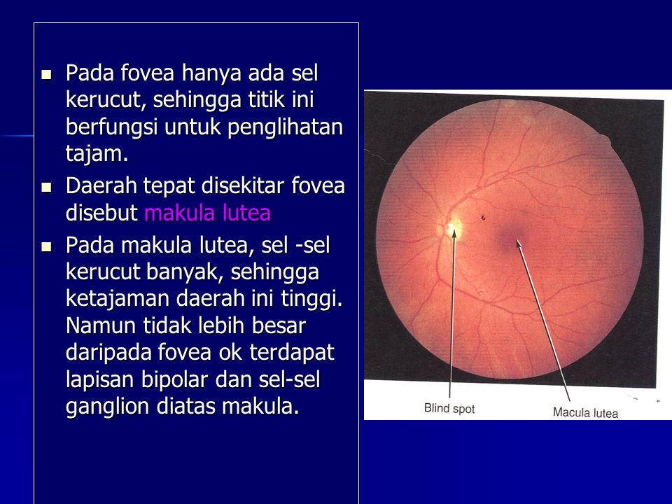 Pada fovea hanya ada sel kerucut, sehingga titik ini berfungsi untuk penglihatan tajam. Pada fovea hanya ada sel kerucut, sehingga titik ini berfungsi