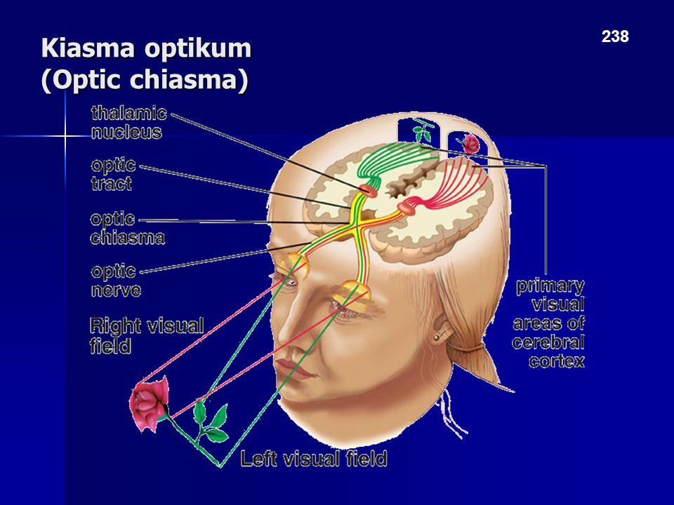 Kiasma optikum (Optic chiasma) 238