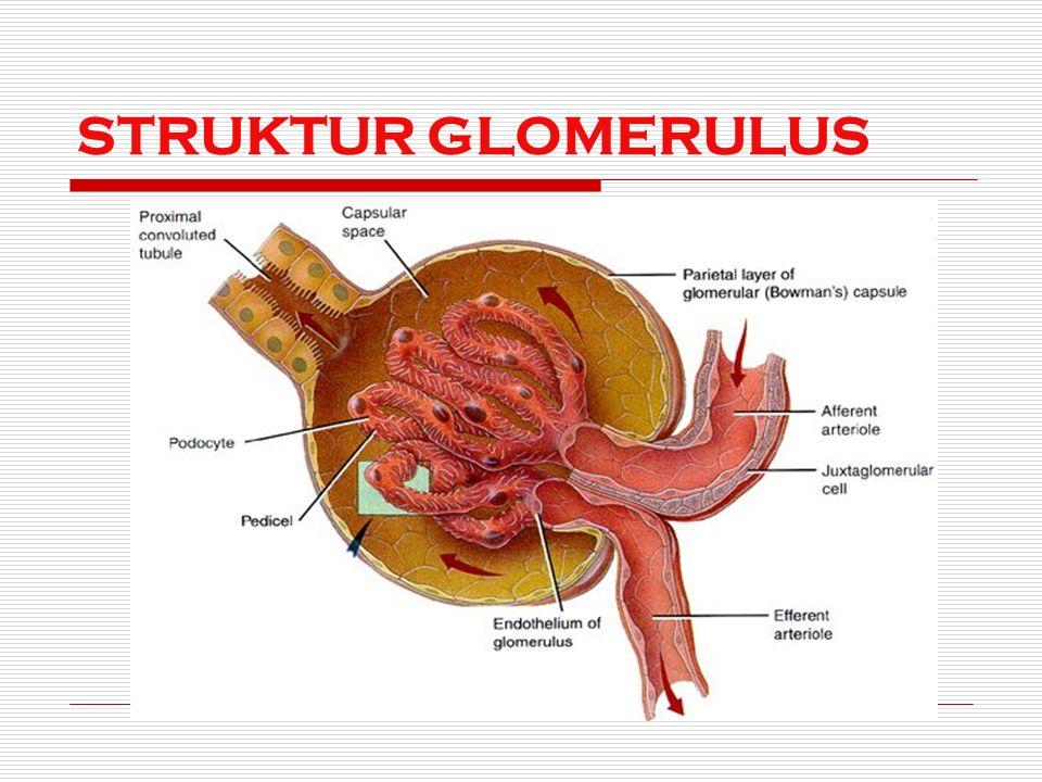 STRUKTUR GLOMERULUS