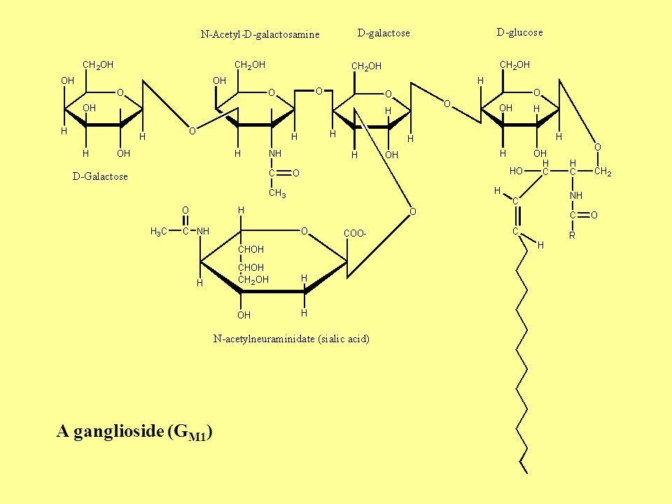 Ganglioside nomenclature Numerical subscripts: 1. Gal-GalNAc-Gal-Glc-ceramide 2. GalNAc-Gal-Glc-ceramide 3. Gal-Glc-ceramide