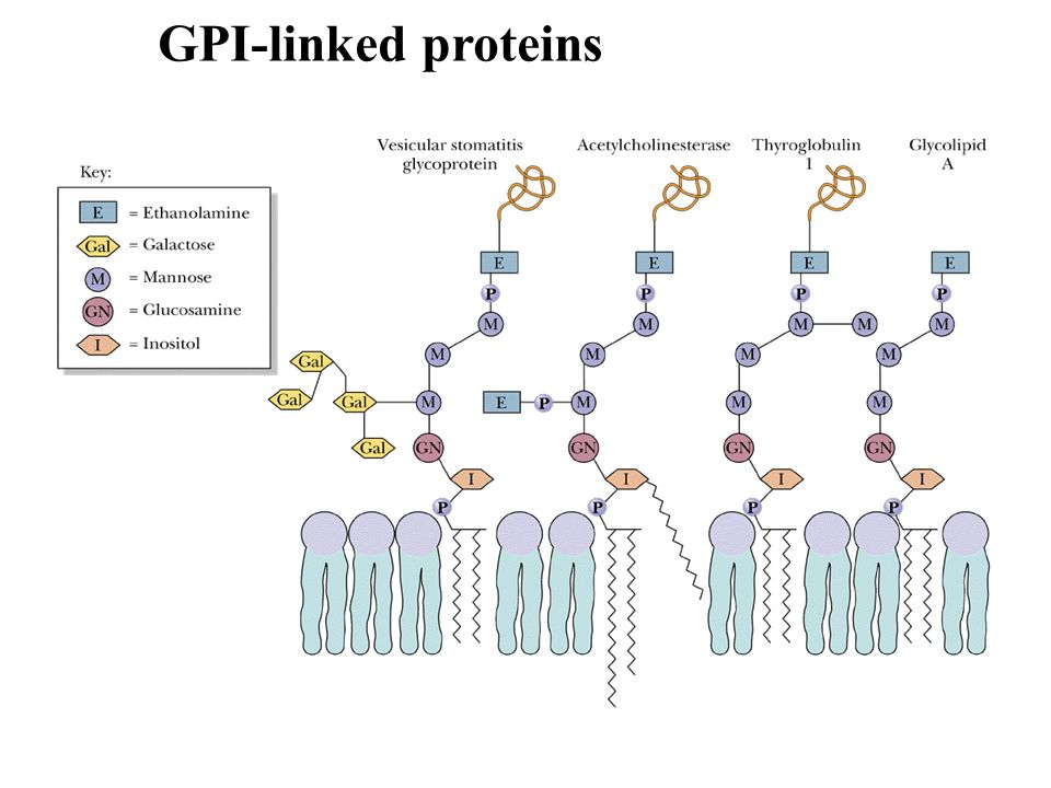 Prenylated proteins