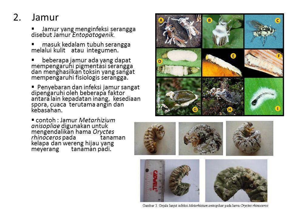 2. Jamur  Jamur yang menginfeksi serangga disebut Jamur Entopatogenik.  masuk kedalam tubuh serangga melalui kulit atau integumen.  beberapa jamur