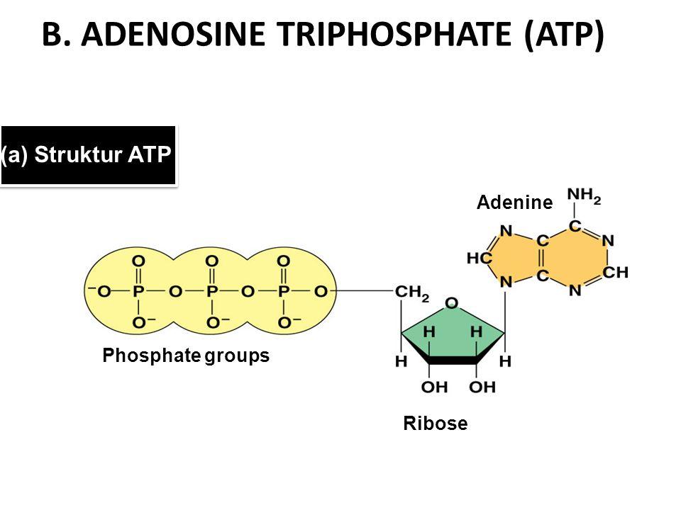 B. ADENOSINE TRIPHOSPHATE (ATP) (a) Struktur ATP Phosphate groups Adenine Ribose