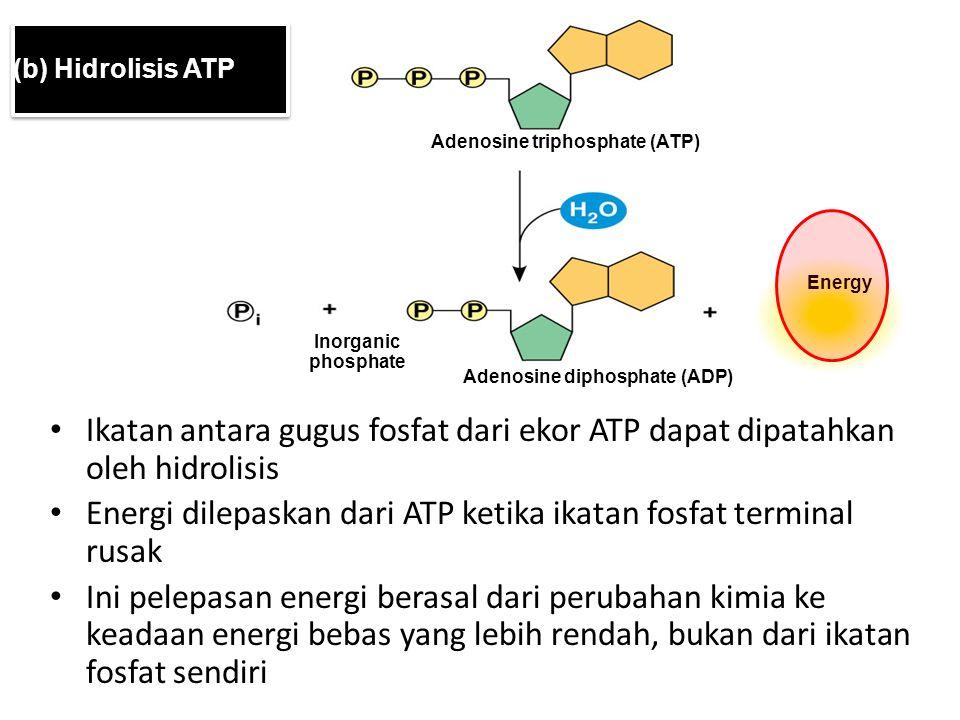 Adenosine triphosphate (ATP) Energy Inorganic phosphate Adenosine diphosphate (ADP) (b) Hidrolisis ATP Ikatan antara gugus fosfat dari ekor ATP dapat