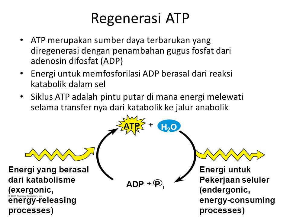 Regenerasi ATP ATP merupakan sumber daya terbarukan yang diregenerasi dengan penambahan gugus fosfat dari adenosin difosfat (ADP) Energi untuk memfosf