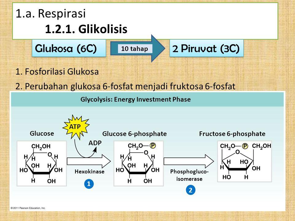 Glycolysis: Energy Investment Phase ATP Glucose Glucose 6-phosphate ADP Hexokinase 1 Fructose 6-phosphate Phosphogluco- isomerase 2 1. Fosforilasi Glu