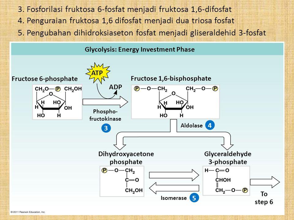Glycolysis: Energy Investment Phase ATP Fructose 6-phosphate ADP 3 Fructose 1,6-bisphosphate Phospho- fructokinase 4 5 Aldolase Dihydroxyacetone phosp