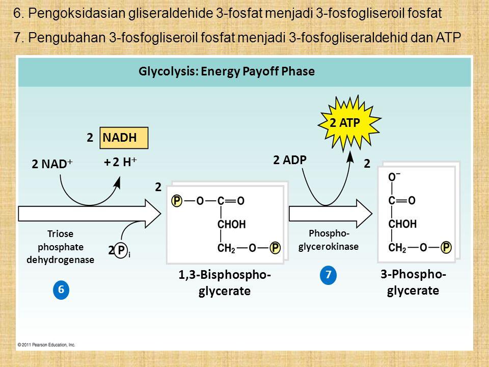 6. Pengoksidasian gliseraldehide 3-fosfat menjadi 3-fosfogliseroil fosfat Glycolysis: Energy Payoff Phase 2 NADH 2 ATP 2 ADP 2 2 2 NAD  + 2 H  2 P i