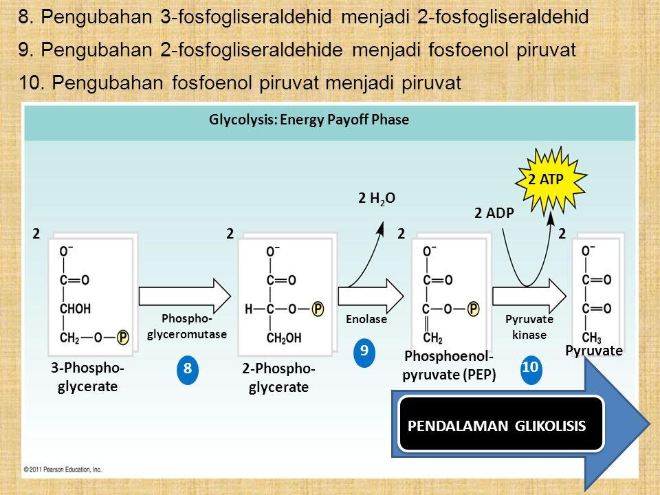 8. Pengubahan 3-fosfogliseraldehid menjadi 2-fosfogliseraldehid Glycolysis: Energy Payoff Phase 2 ATP 2 ADP 2 2 22 2 H 2 O 2-Phospho- glycerate 3-Phos
