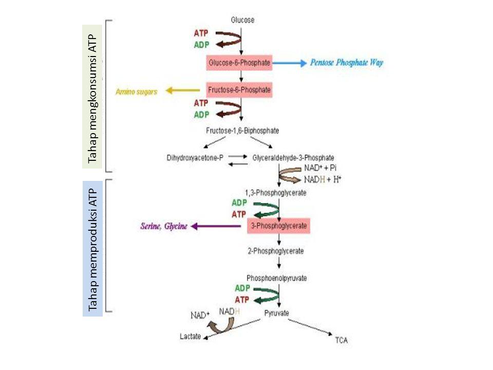 Tahap mengkonsumsi ATP Tahap memproduksi ATP