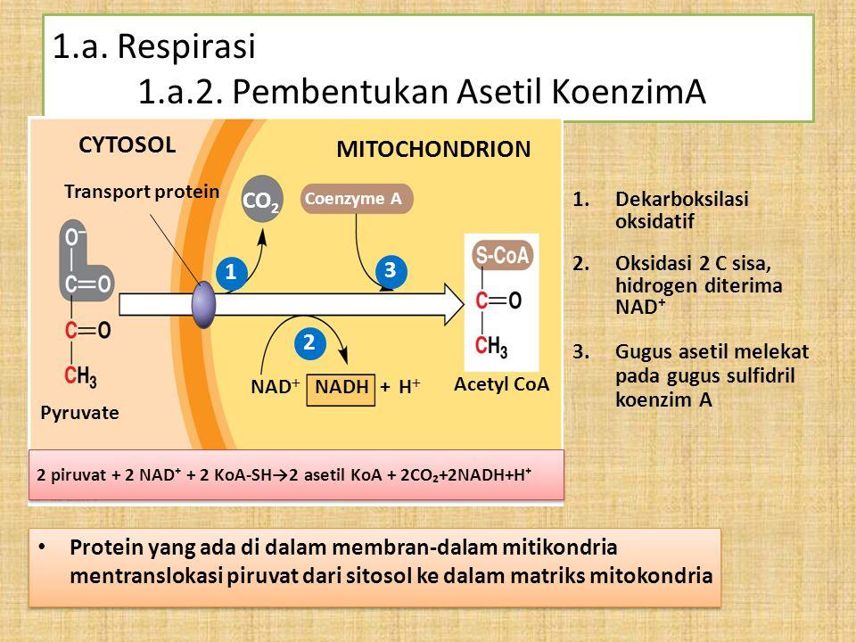 1.a. Respirasi 1.a.2. Pembentukan Asetil KoenzimA 1.Dekarboksilasi oksidatif 2.Oksidasi 2 C sisa, hidrogen diterima NAD⁺ Pyruvate Transport protein CY