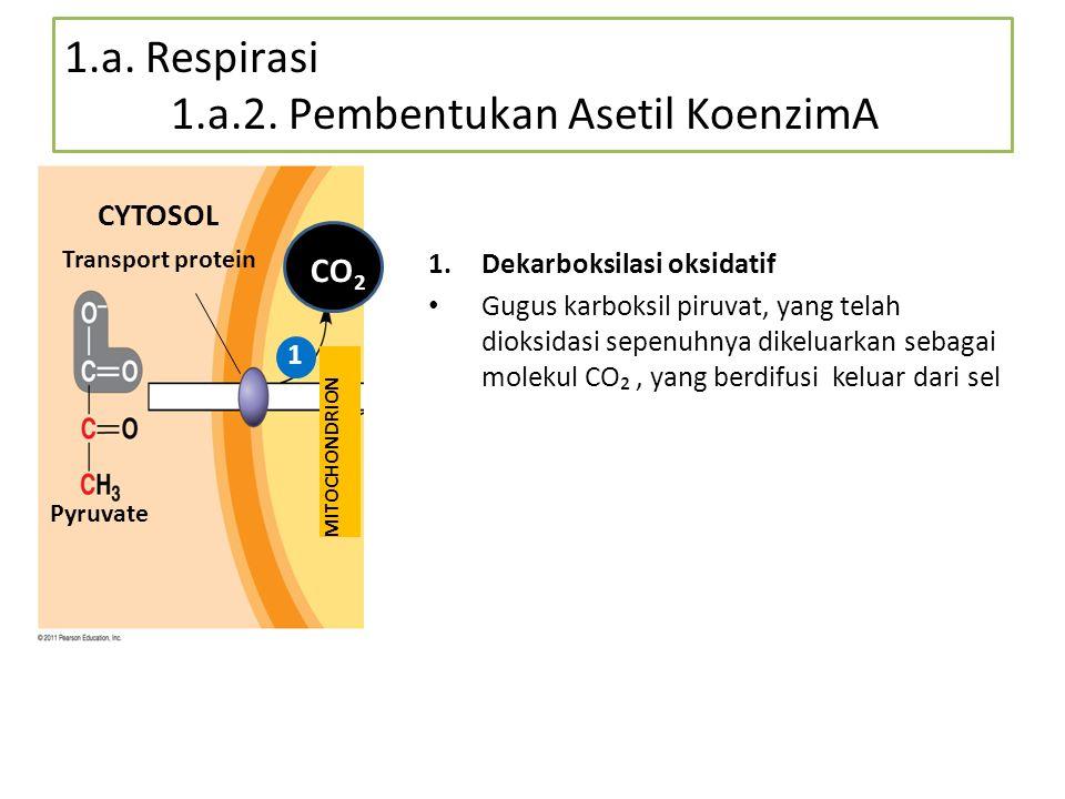 1.a. Respirasi 1.a.2. Pembentukan Asetil KoenzimA 1.Dekarboksilasi oksidatif Gugus karboksil piruvat, yang telah dioksidasi sepenuhnya dikeluarkan seb