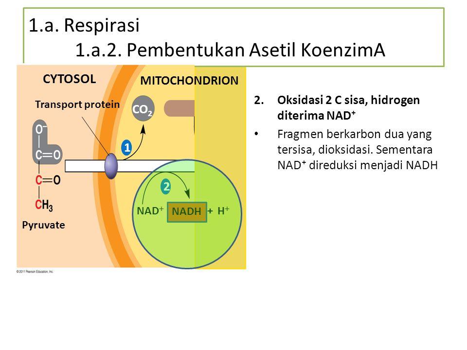 1.a. Respirasi 1.a.2. Pembentukan Asetil KoenzimA 2.Oksidasi 2 C sisa, hidrogen diterima NAD⁺ Fragmen berkarbon dua yang tersisa, dioksidasi. Sementar