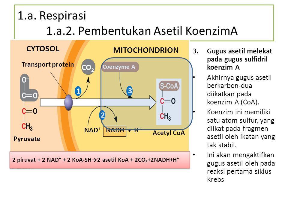 1.a. Respirasi 1.a.2. Pembentukan Asetil KoenzimA Pyruvate Transport protein CYTOSOL MITOCHONDRION CO 2 Coenzyme A NAD  + H  NADH Acetyl CoA 1 2 3 2