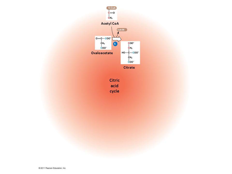 1 Acetyl CoA Citrate Citric acid cycle CoA-SH Oxaloacetate
