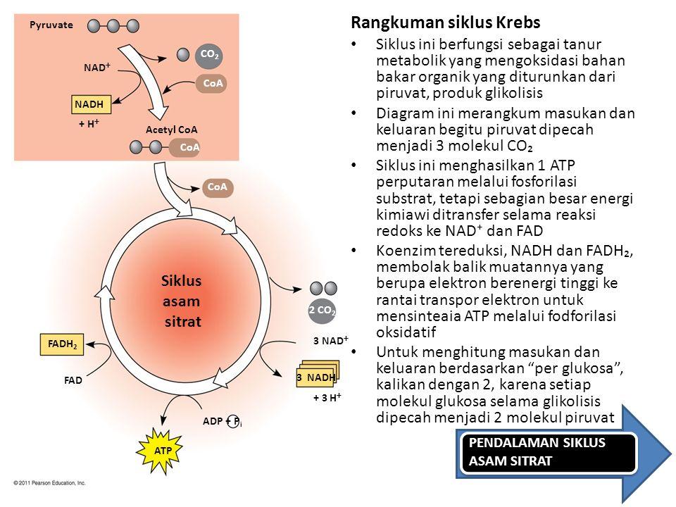 Pyruvate NAD  NADH + H  Acetyl CoA CO 2 CoA 2 CO 2 ADP + P i FADH 2 FAD ATP 3 NADH 3 NAD  Siklus asam sitrat + 3 H  Rangkuman siklus Krebs Siklus