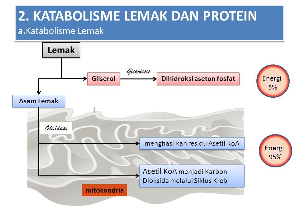 2. KATABOLISME LEMAK DAN PROTEIN a.Katabolisme Lemak Lemak Asam Lemak Gliserol Dihidroksi aseton fosfat Glikolisis Oksidasi menghasilkan residu Asetil