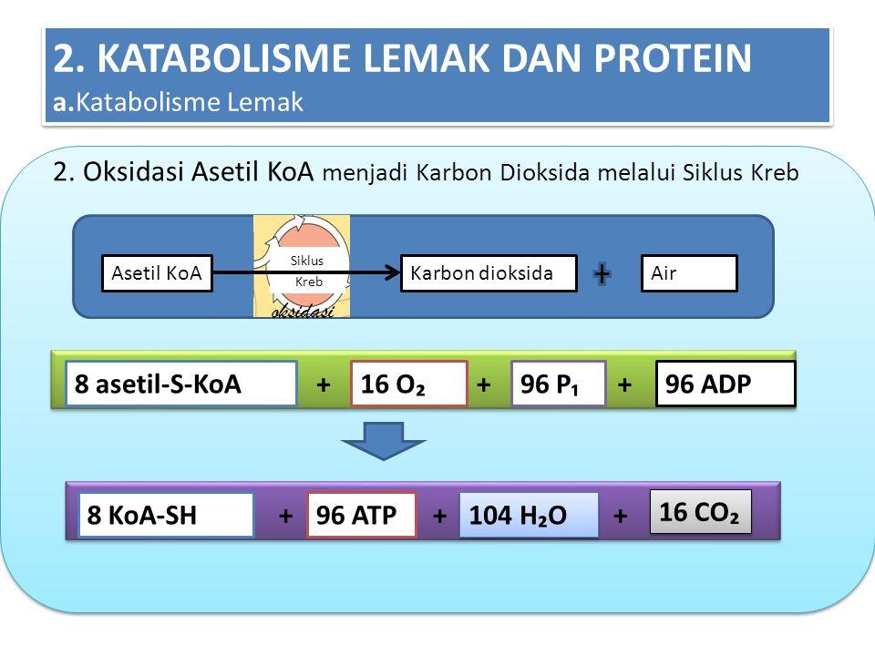 2. KATABOLISME LEMAK DAN PROTEIN a.Katabolisme Lemak 2. Oksidasi Asetil KoA menjadi Karbon Dioksida melalui Siklus Kreb 8 asetil-S-KoA16 O₂96 P₁96 ADP