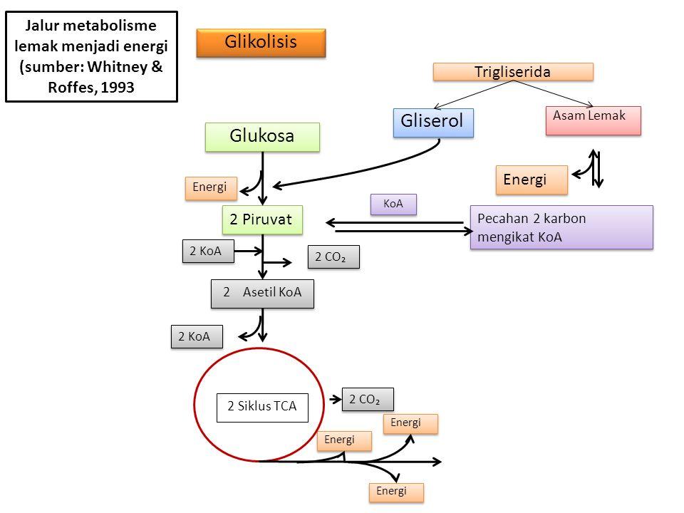 Glikolisis Glukosa 2 Piruvat Energi 2 KoA 2 Asetil KoA 2 Siklus TCA Energi Pecahan 2 karbon mengikat KoA Energi Gliserol KoA Asam Lemak Trigliserida 2