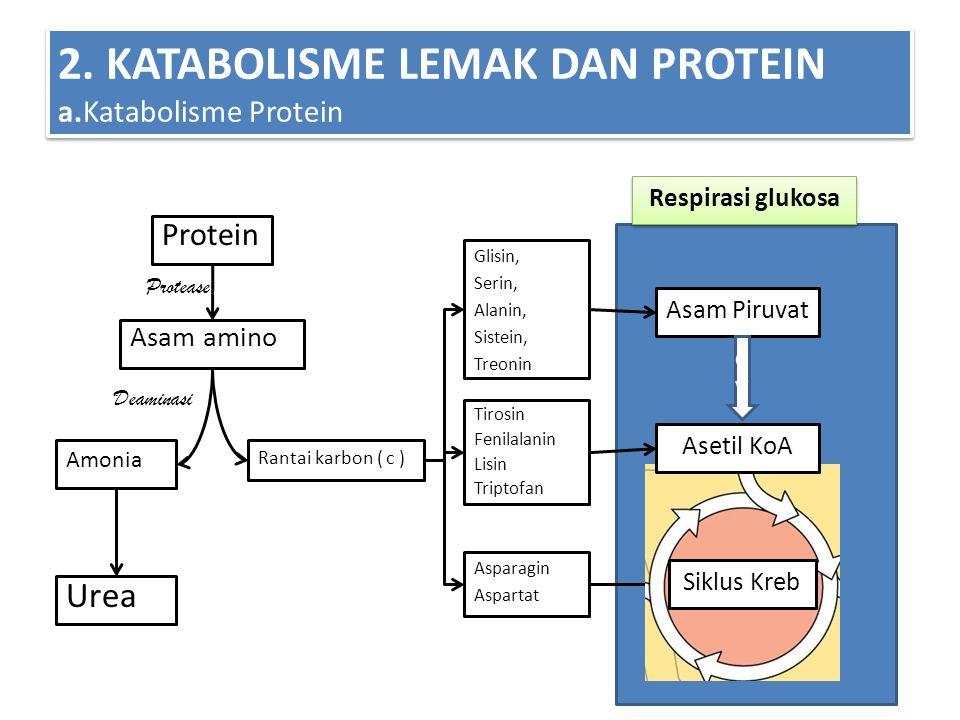 V 2. KATABOLISME LEMAK DAN PROTEIN a.Katabolisme Protein Protein Asam amino Amonia Urea Rantai karbon ( c ) Respirasi glukosa Protease Deaminasi Asam