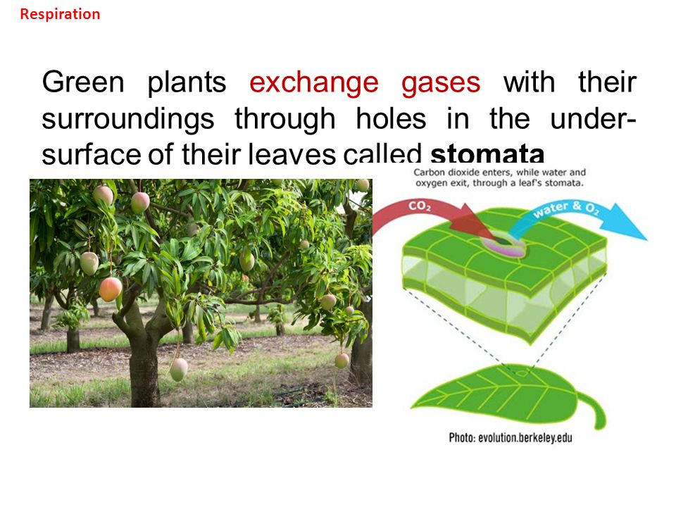 Green plants exchange gases with their surroundings through holes in the under- surface of their leaves called stomata Respiration