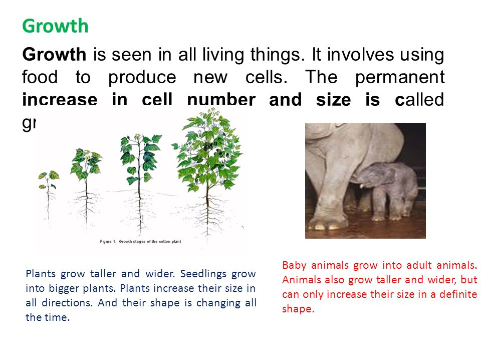Growth Growth is seen in all living things. It involves using food to produce new cells.