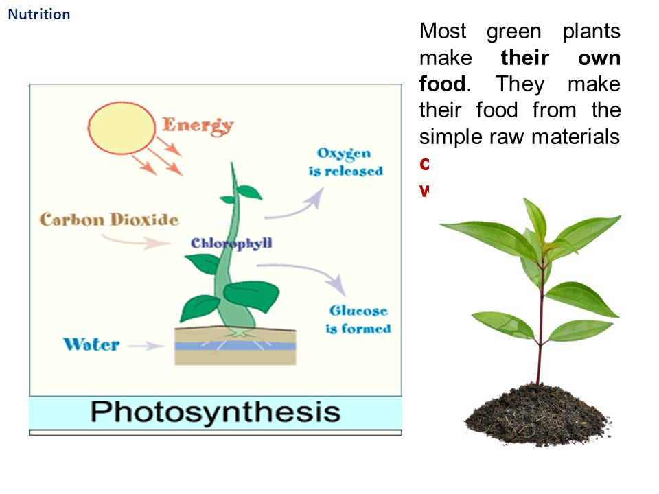 Most green plants make their own food.