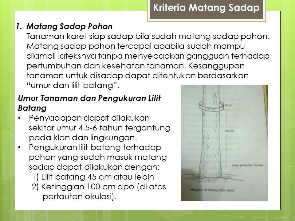 Kriteria Matang Sadap 1.Matang Sadap Pohon Tanaman karet siap sadap bila sudah matang sadap pohon.
