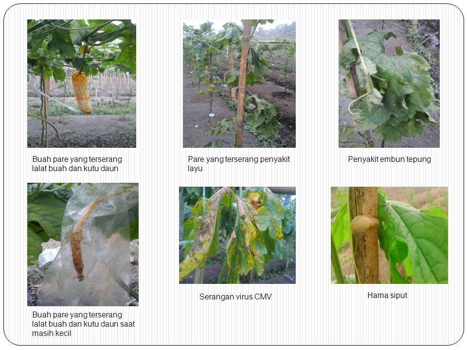 Buah pare yang terserang lalat buah dan kutu daun Buah pare yang terserang lalat buah dan kutu daun saat masih kecil Pare yang terserang penyakit layu Penyakit embun tepung Serangan virus CMV Hama siput
