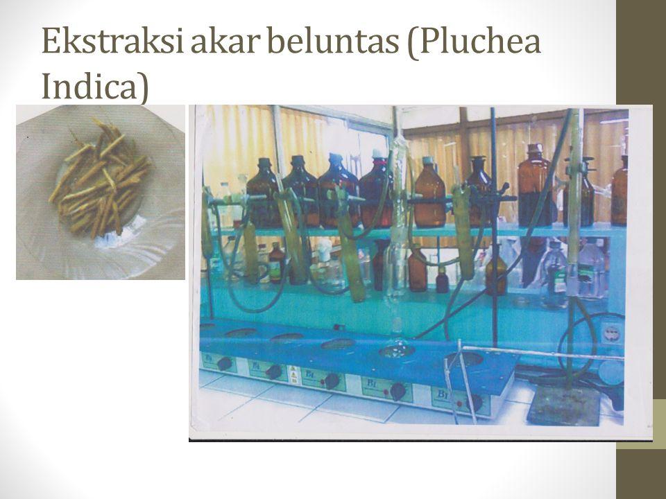 Ekstraksi akar beluntas (Pluchea Indica)