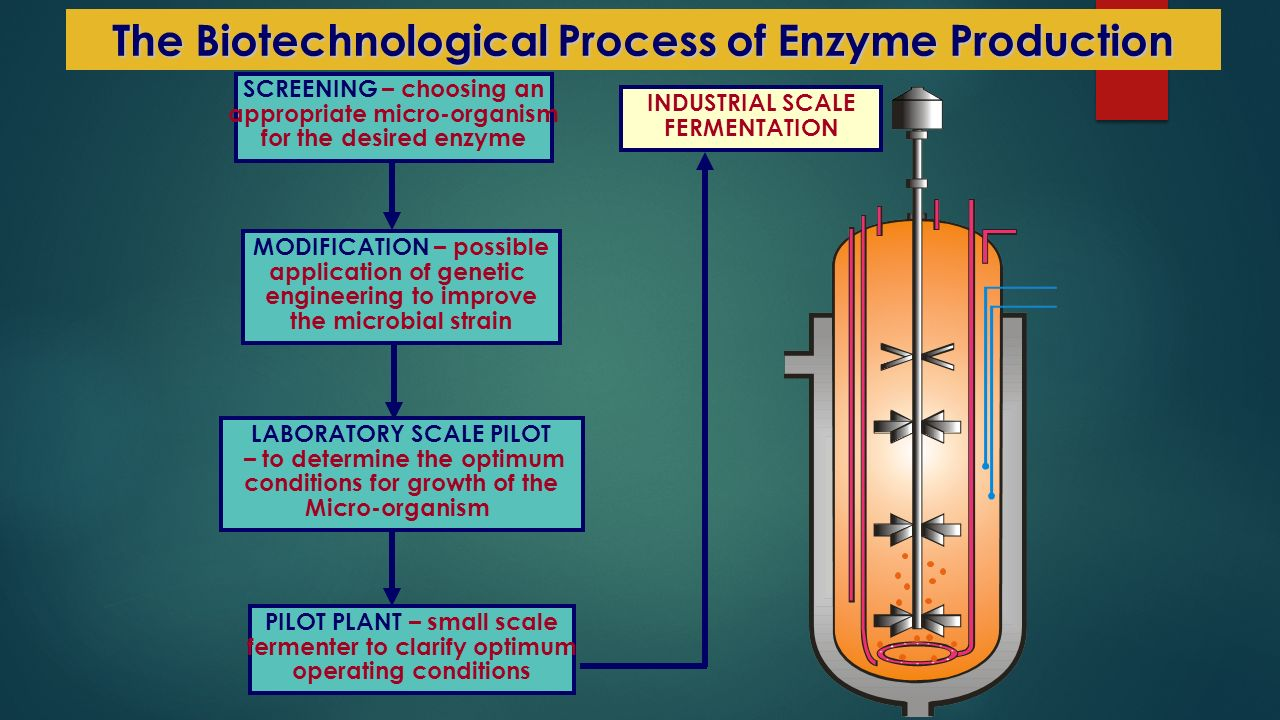 MODIFICATION – possible application of genetic engineering to improve the microbial strain LABORATORY SCALE PILOT – to determine the optimum conditions for growth of the Micro-organism PILOT PLANT – small scale fermenter to clarify optimum operating conditions SCREENING – choosing an appropriate micro-organism for the desired enzyme INDUSTRIAL SCALE FERMENTATION The Biotechnological Process of Enzyme Production