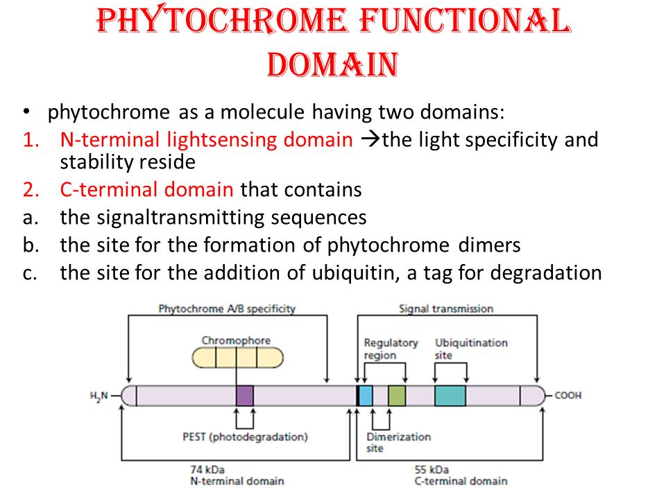PHYTOCHROME FUNCTIONAL DOMAIN phytochrome as a molecule having two domains: 1.N-terminal lightsensing domain  the light specificity and stability res