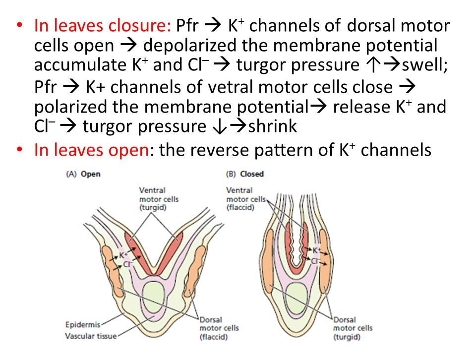 In leaves closure: Pfr  K + channels of dorsal motor cells open  depolarized the membrane potential accumulate K + and Cl –  turgor pressure ↑  sw