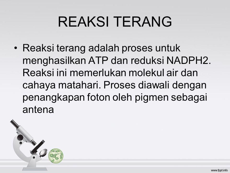 REAKSI TERANG Reaksi terang adalah proses untuk menghasilkan ATP dan reduksi NADPH2.