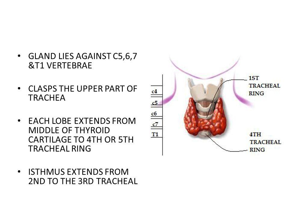 1.investing fascia 2.pretracheal fascia a.muscular layer b.