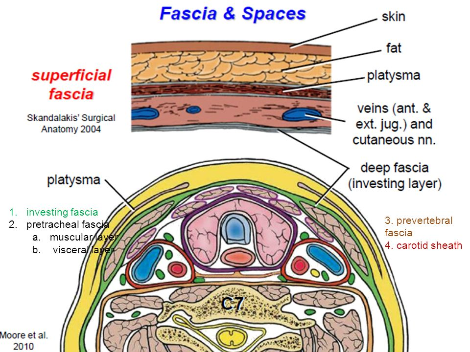 1.investing fascia 2.pretracheal fascia a.muscular layer b.