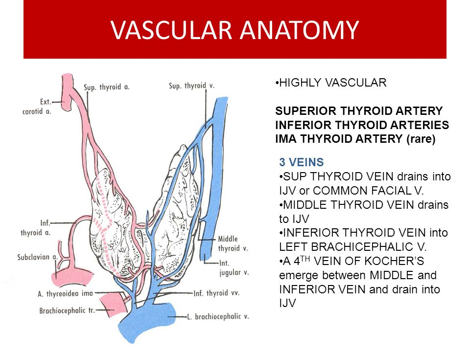 VASCULAR ANATOMY HIGHLY VASCULAR SUPERIOR THYROID ARTERY INFERIOR THYROID ARTERIES IMA THYROID ARTERY (rare) 3 VEINS SUP THYROID VEIN drains into IJV or COMMON FACIAL V.