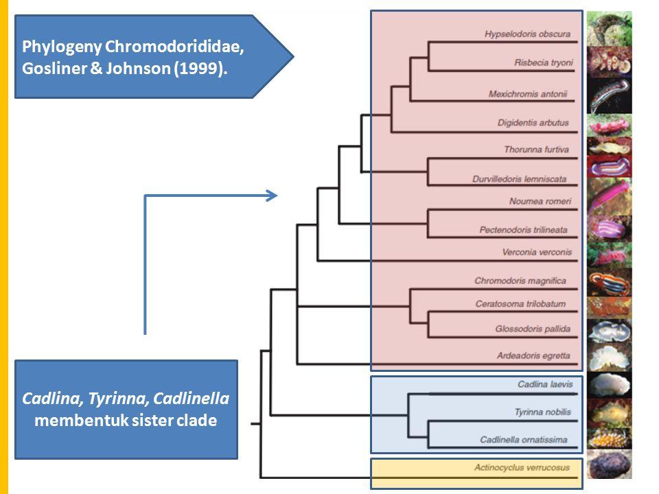 CadlinaChromodorididae Karena memiliki karakter synapomorphies: mantle glands and denticulate radular teeth.
