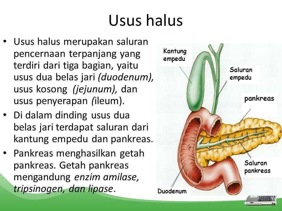 Usus halus Usus halus merupakan saluran pencernaan terpanjang yang terdiri dari tiga bagian, yaitu usus dua belas jari (duodenum), usus kosong (jejunu